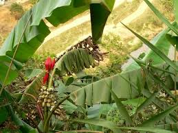 Image result for chuối hột rừng
